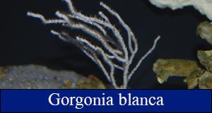 gorgonia blanca