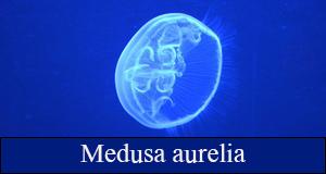 medusa aurelia