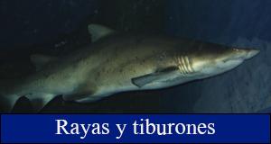 rayas tiburones